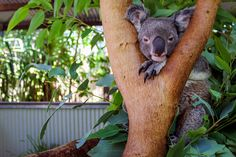 Imagine this koala hugging you instead of the tree. The warmest, snuggliest hug you could ever ask for and it's waiting for you in Queensland! Enjoy this experience and more with our Animal Encounters Competition. #thisisqueensland
