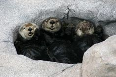 Sea otters have a crowded pool party - July 20, 2014