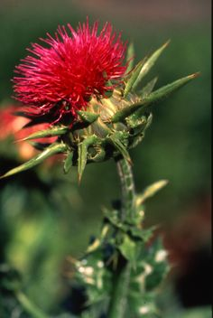 Milk Thistle - Considered to be the master herb to support the liver. Horses know how to nibble around the thorny prickers under the flower head.