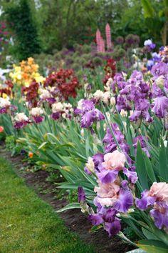 Bearded Iris Garden