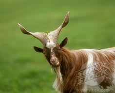Girgentana or Agrigento Goat (Capra girgentana) *Rare Breed, Sicily