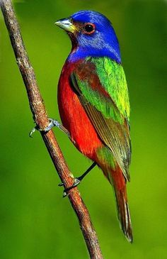 awesome Painted Buntings Sightings - Oklahoma Birds and Butterflies