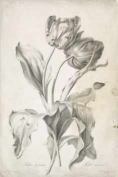 SPAENDONCK, Van. G. - Tulipe des Jardins. Tulipa gesneriana. L., c 1800