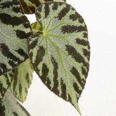 Een waar wonder van de natuur: de Begonia Silver Jewel. De bijzonder gekleurde bladeren geven een soort zilverachtige/metallic reflectie af. Deze schoonheid heeft al vele beautyverkiezingen gewonnen. Laat haar schitteren in je eigen woonkamer op een halfschaduw plekje.