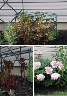 Learn how to support peony plants with cages.