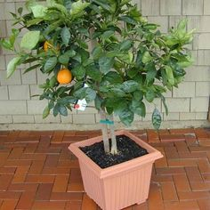 Brighten your kitchen with a small fruit tree, and harvest fresh oranges in the winter wherever you live. Dwarf Washington Naval Orange tree, $40; fourwindsgrowers.com