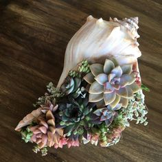 Succulent Shell Gift Flower Arrangement Takes Months - Arrangement Floral .Succulent sea shell gift flower arrangement takes months - order flowers gift last months 10 Lightning Whelk Shells wedding decoration, Airplants Great little left-handed Succulent Gardening, Planting Succulents, Container Gardening, Planting Flowers, Gardening Tips, Succulent Ideas, Succulent Planters, Potted Plants, Succulent Gifts