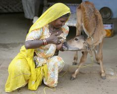 We've heard of bestiality but Bai, a resident of Rajasthan's Kilchu village, takes human-animal relationships to a whole new level! Utterly sympathetic towards an orphaned calf, she decided to take the task of feeding it upon herself. She's been