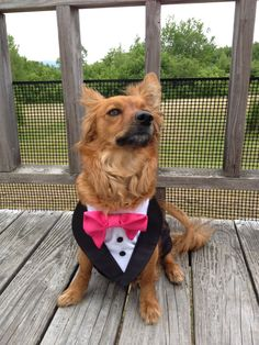 Our custom dog tuxedos are perfect for any formal occasions including weddings, parties and birthdays! All sizes available and customizable for your wedding colors! All I need are your pets measurements: neck chest spine tie color Tuxedo Wedding, Dog Wedding, Wedding Tuxedos, Gypsy Eyes, Dog Tuxedo, Dog Wear, Cute Little Animals, Tie Colors, Wedding Colors