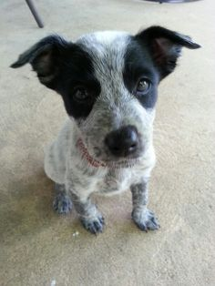 My 7 week old baby blueheeler pup Molly!