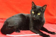 Petango.com – Adopt Collin! a 2 yrs 10 months Domestic Shorthair/Mix cat in BLACKWOOD, NJ https://shar.es/1jGR9h