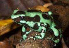 Auratus Dart Frogs For Sale (Dendrobates auratus)