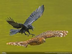 Honorable Mention, Animal Portraits: Crow Chasing Puffy Owl