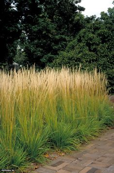 Feather reed grass calamagrostis x acutiflora 39 karl for Ornamental grass that looks like wheat