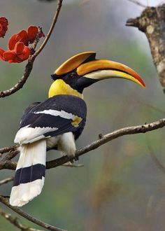 Great hornbill The birds are very large and the largest hornbill species of Thailand. The body size of 122 centimeters generally simila. Tropical Birds, Exotic Birds, Colorful Birds, Exotic Animals, Pretty Birds, Beautiful Birds, Animals Beautiful, Kinds Of Birds, All Birds