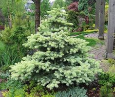 Picea pungens 'Walnut Glen'   Colorado Spruce. A dwarf evergreen conifer with a formal, dense pyramidal shape. Gray-blue foliage has a dusting of light cream-yellow. Prefers full sun in well-drained soil. 5' tall x 2.5' wide in 10 years. Hardy to -40 degrees. USDA zone 3