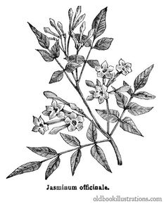 Common Jasmine                                                                                                                                                                                 Plus