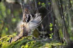 A beautiful Ruffed Grouse.