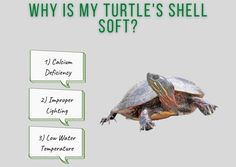 why does my turtle have a soft shell