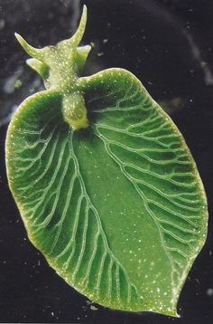 Elysia chlorotica, a sea slug that can photosynthesize : interestingasfuck