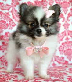 I need a pomeranian!!! Let me clarify. If I didn't have 4 children, I would need a pomeranian. ;-)