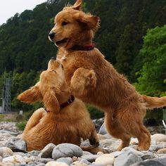 Fuzzy&Lily *  #ilovegolden_retrievers #pets_perfection #my_loving_pet #dogs_of_instagram #golden_retrieverlovers #pupdoggydog #meowvswoof #bestwoof #dog_features #dogsofinstagram #ilovemydog #puppytales #instagramdogs #dogstagram #nature_cuties #FurrendsUpClose  #goldens_ofinstagram #igclub_dogs #gloriousgoldens #instadog #goldenretriever #puppytrip #retrieversgram  #welovegoldens #Excellent_Dogs #puppiesforall  #lillyspicoftheweek #animaladdict #bestfriends_dogs #Excellent_Puppies