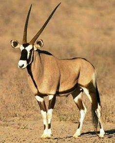 Oryx...Beautiful