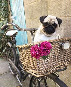 Weekend transportation sorted! Photo by @im_baby_the_pug  Want to be featured on our Instagram? Tag your photos with #thepugdiary for your chance to be featured.