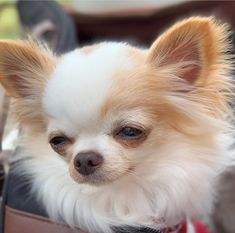 Chihuahua dogs are part of the toy dog breed, bringing a lot of energy in a tiny package. Find out more about the Chiwawa dog here. Cute Dogs And Puppies, Baby Dogs, I Love Dogs, Teacup Chihuahua, Chihuahua Love, Long Hair Chihuahua, Long Haired Chihuahua Puppies, Cute Baby Animals, Funny Animals