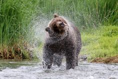 """""""Bear Spray"""" by Kerri Parkes: This is the only """"bear spray"""" that should be seen when in the proximity of bears.  Whilst on the Kodiak to Katmai Photo Tour with Natural Habitat, we were treated to many memorable moments. Sharing the stunning coastline with the engaging wildlife was amazing. Brad Josephswas an excellent guide and made the trip enjoyable. Thank you for an amazing experience!"""
