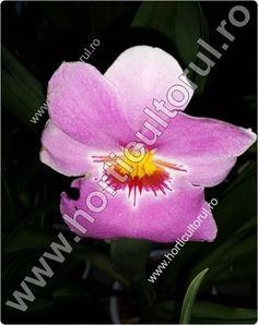 Familia: ORCHIDACEAE Demumire populara: Orhideea Miltonia – Panseluta Denumire stiintifica: Miltonia spp. Origine:Miltonia cuprinde cca. 20 specii si reprezinta un gen al Orhideelor originar…