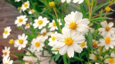 The beautiful Texas White Zinnia is a wonderful addition to the southern garden! A drought tolerant and sun loving little flower to add interest to a flowerbed.