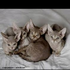 Devon rex kitties! Saaaa cute! <3