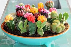Mixture of coloured cacti in a blue dish - Selecting Succulents