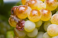 https://flic.kr/p/xjZE3h | Grapes and Fly | Harvest time #wine