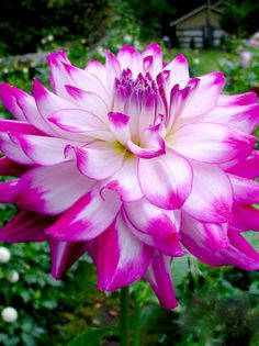 ~~Dahlia 'Who Dun It' ~ White center with stunning hot pink tips. Good bloomer and is a gardener favorite | Dahlia Barn~~