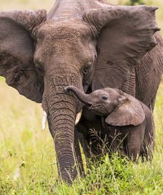 After decades of poaching and trophy hunting, elephants like Satao and the recently killed tusker are fewer and fewer. Is it sustai. Animals And Pets, Baby Animals, Funny Animals, Cute Animals, All About Elephants, Save The Elephants, Baby Elephants, Beautiful Creatures, Animals Beautiful