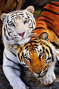Bengal Tigers - Best Friends  How cute are they!