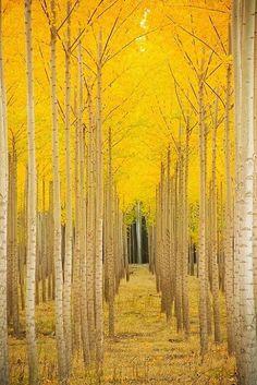 yellow aspen forest