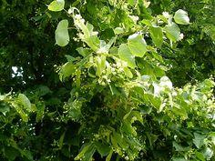 Květ lípy vaříme obvykle jako jednodruhový nálev. Parsley, Herbs, Herb, Spice