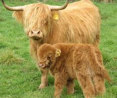 mini highland cattle - Google Search