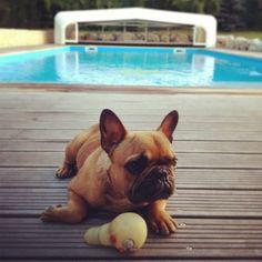 Dog - French Bulldog - Haribo  on www.yummypets.com