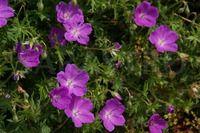 Thumbnail Geranium     sanguineum 'Max Frei'
