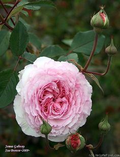 'James Galway' Rose, by Calif. Sue, growing in San Jose, CA. It must be able to tolerate CA heat.