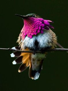 Amazing Tiny Piece of Nature Art .The Wine-Throated Hummingbird (Atthis ellioti) With a length of 7 cm, it is one of the smallest birds within its range. Native to El Salvador, Guatemala, Honduras, and Mexico. Photos Colibri, Images Colibri, Exotic Birds, Colorful Birds, Tropical Birds, Pretty Birds, Love Birds, Birds 2, Angry Birds