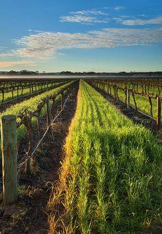 #vigneto - vineyard