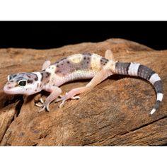 Leopard Gecko | Live Reptiles | PetSmart