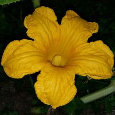 "Male ""Big max"" #pumpkin #flower in full bloom. #gardening #horticulture"