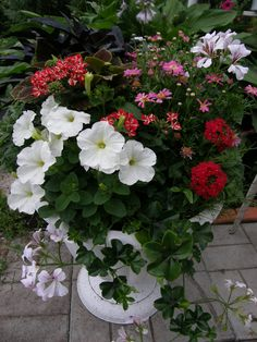 red and white pot with pelargonium