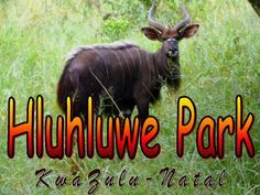 Hluhluwe-Umfolozi Game Reserve, located 280 km north of Durban, is the oldest proclaimed park in Africa. It consists of 960 km² (96,000 ha) of hilly topography in central Zululand, KwaZulu-Natal, South Africa and is known for its rich wildlife and conservation efforts. The park is the only state-run park in KwaZulu-Natal where all the Big Five Game occurs. Due to conservation efforts, the park now has the largest population of white rhino in the world.